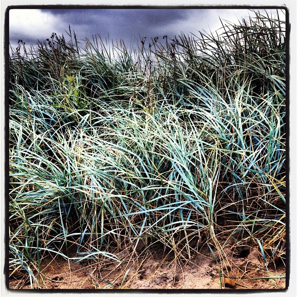 Marram grass - Barmston